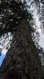 Árbol de pino muy viejo en Nueva Zelanda fotografía de archivo