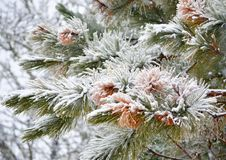 Árbol de pino nevado Foto de archivo libre de regalías