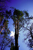 Árbol de pino poderoso Fotos de archivo libres de regalías