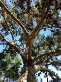 Árbol de pino por completo de los conos 4k del pino Foto de archivo libre de regalías
