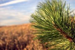 Árbol de pino por el campo de maíz Fotografía de archivo