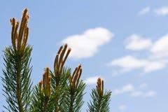 Árbol de pino que alcanza al cielo. Fotos de archivo