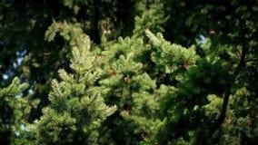 Árbol de pino que se sacude en la brisa almacen de video