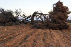 Árbol de pino quemado después de un fuego grande en Mati, Grecia imagen de archivo