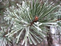 Árbol de pino rimado. Imagenes de archivo