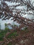 Árbol de pino de Rose en el vallecasSpain, Madrid imágenes de archivo libres de regalías