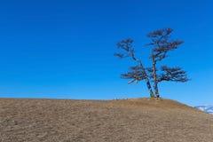 Árbol de pino sagrado encima de la colina cerca de la roca del chamán, lago Baikal Fotos de archivo