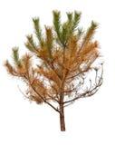 Árbol de pino seco fotos de archivo libres de regalías