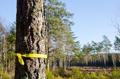 Árbol de pino seleccionado Foto de archivo libre de regalías
