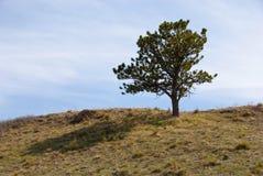 Árbol de pino simple en la cresta de una colina Foto de archivo libre de regalías
