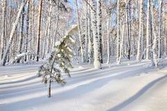 Árbol de pino sitiado por la nieve en el claro en un bosque del invierno Fotografía de archivo