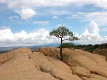 Árbol de pino solitario Imagenes de archivo
