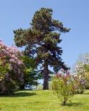 Árbol de pino solitario Fotografía de archivo