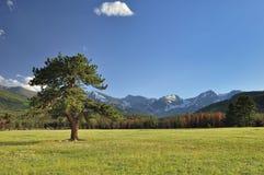Árbol de pino solitario Imagen de archivo