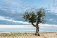 Árbol de pino solitario en la playa Imagen de archivo libre de regalías