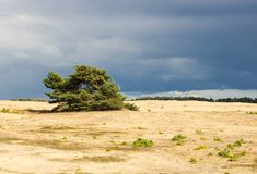 Árbol de pino solitario en una alta duna de arena en el veluwe del hoge Fotos de archivo