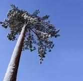 Árbol de pino solo imagen de archivo