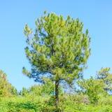 Árbol de pino solo Fotos de archivo libres de regalías