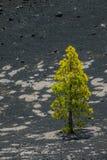 Árbol de pino solo en el La Palma Imagen de archivo