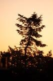 Árbol de pino torcido contra un cielo anaranjado/rojo foto de archivo