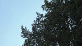 Árbol de pino verde en el fondo del cielo azul Pase a través de las ramas del bosque de los árboles de pino contra el cielo Ángul almacen de metraje de vídeo