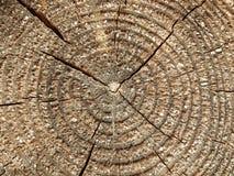 Árbol de pino viejo Fotografía de archivo libre de regalías