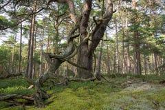 Árbol de pino viejo en bosque primitivo fotos de archivo libres de regalías