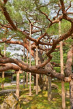 Árbol de pino viejo en el jardín de Kenrokuen de Kanazawa, Japón Fotos de archivo
