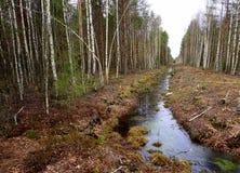 Árbol de pino y bosque del árbol de abedul Fotos de archivo