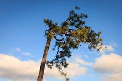 Árbol de pino y cielo y nube del cono del pino Imagen de archivo