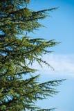 Árbol de pino y conos del pino Fotos de archivo libres de regalías