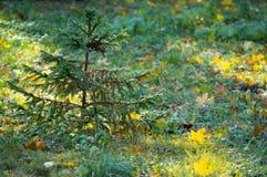 Árbol de pino y hojas de otoño Fotos de archivo