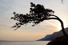 Árbol de pino y la puesta del sol Fotografía de archivo libre de regalías