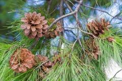 Árbol de pino y primer de los conos Fotos de archivo libres de regalías