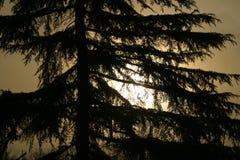 Árbol de pino y salida del sol Imagen de archivo libre de regalías