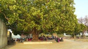 Árbol de Pipal Fotografía de archivo libre de regalías
