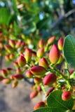 Árbol de pistacho Fotos de archivo