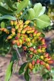 Árbol de pistacho Foto de archivo