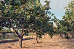 Árbol de pistacho Foto de archivo libre de regalías