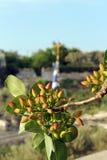 Árbol de pistacho Fotos de archivo libres de regalías