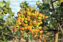 Árbol de pistacho Imagen de archivo