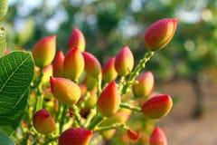 Árbol de pistacho Imagen de archivo libre de regalías