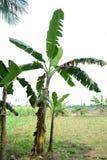 Árbol de plátano fotografía de archivo