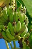 Árbol de plátano Imagen de archivo libre de regalías