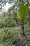 Árbol de plátano Imagen de archivo