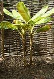 Árbol de plátano Imagenes de archivo