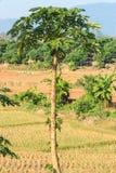 Árbol de plátano Foto de archivo