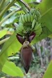 Árbol de plátano Foto de archivo libre de regalías