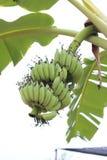 Árbol de plátano Fotografía de archivo libre de regalías