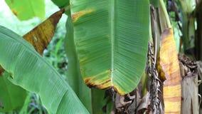 Árbol de plátano almacen de metraje de vídeo